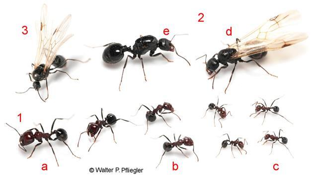 hangya hangyák trichinella spiralis életciklusa